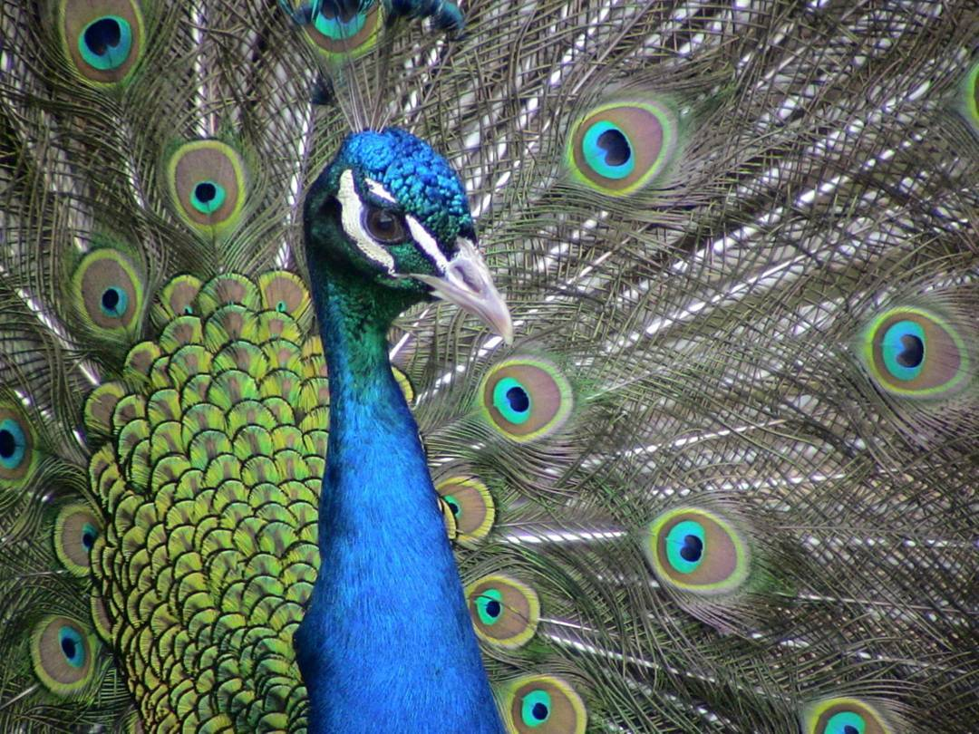 Peacock Display by AET showoff