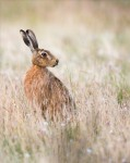 David Hurkett Brown Hare Lepus Europaeus