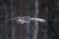 David Hurkett Great Grey Owl Strix Nebulosa