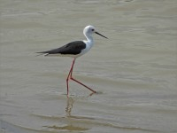 John Howard Black Winged Stilt