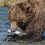 Sarah Bedwell LRPS Kodiak Bear with Salmon-