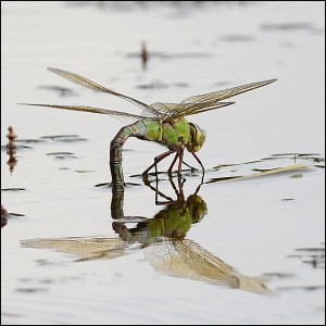 Jean-Paul Burch Emperor Dragonfly